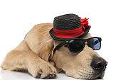 golden retriever dog lying down rocking a pair of sunglasses