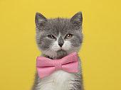 beautiful british shorthair metis cat is feeling disgusted