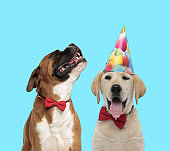 Yawning Labrador Retriever wearing party hat and happy Boxer