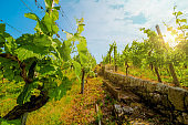 Vineyard on hill with path between stone fence with grape bushes. Landscape with blue sky