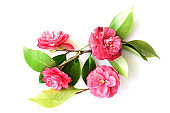 Four camellia flowers isolated white