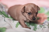 A young puppy of a toy terrier lies on a colored fabric.