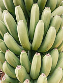 Ripe bunch of green bananas ready to pick