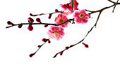 blooming plum tree with pink flowers in details.