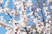 Blossoming cherry branch with white flowers at spring morning time.