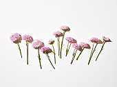 Cut pink chrysanthemum flowers