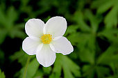 Top view on a beautiful gentle flower with white transparent petals and light yellow stamens.