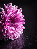 Closeup of Chrysanthemum With Water Drops
