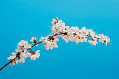 Beautiful apricot blossom flower with branch on blue background