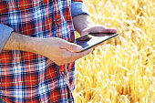 Farmer uses his tablet pc at ready for harvest wheat field