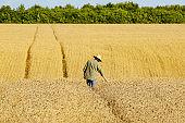 Middle age caucasian farm worker in straw hat checks corn field summer day