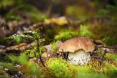 Edible mushroom Boletus edulis