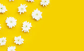 Chrysanthemum flower on yellow background.