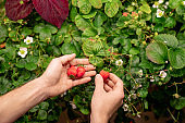 Hands of contemporary male farmer picking strawberries growing in greenhouse