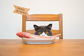 British shorthair cat sitting on a chair and looking at fish on the dining table