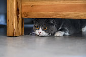British shorthair cat hiding under the table