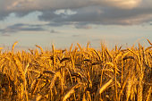 golden corn on a field farm plantation  country panorama