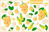 Set of vector cartoon illustrations with Baccaurea exotic fruits, flowers and leaves isolated on white background