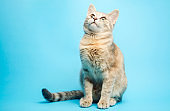 Gray tabby cat on a blue background looks up. Animal portrait. Pet. Place for text. Copy space.