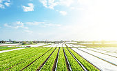 Farm potato plantation fields on a sunny day. Agriculture agribusiness. Use spunbond agrofibre technology to protect crop from cold weather. Growing vegetables food. Agricultural sector of the economy