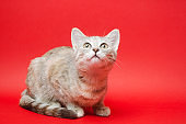 Gray tabby cat on a red background. Animal portrait. Pet. Place for text.