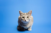 Cute tabby cat is looking curiously at the camera on a blue background. Beautiful funny kitten. Breaking the fourth wall. Curiosity and attentiveness, playful kitty. Portrait, sitting posing.