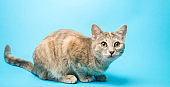 Gray tabby cat on a blue background looks up. Animal portrait. Pet. Sitting posing. Beautiful funny kitten.