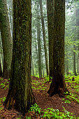 Large trees make up a natural cedar forest