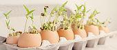seedling plants in eggshells, eco gardening, montessori, education, reuse ,Eco green sustainable living concept, plastic free, zero waste concept