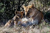 Lion mother and cub checking the situation