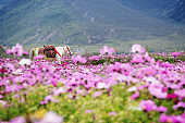 Field of pink flowers with green hill and white horse in springtime