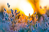 closeup wild flowers in a prairie at the sunset, outdoor natural background