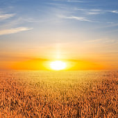 summer wheat field at the sunset
