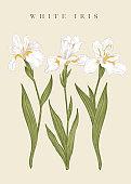 Three white irises