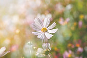 Cosmos flowers in the garden with sunlight. Vintage tone