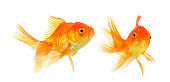 gold fish on white background