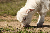 small white goat