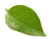 fresh wet leaf