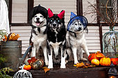 Husky dogs celebrate Halloween