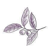 vector drawing branch of bay tree