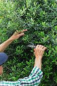 Senior farmer cutting green olive tree
