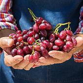 Senior man, farmer, worker holding in hands harvest of organic fresh grape