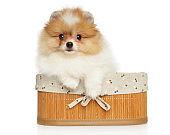 Adorable Pomeranian Spitz puppy in basket
