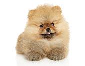 Pomeranian Spitz puppy lies on a white background