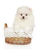 Spitz puppy in wicker basket on white background