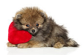 Spitz puppy lies with a red soft toy