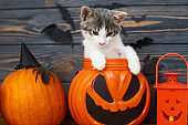 Happy Halloween! Cute kitten sitting in jack o lantern candy bucket on background of pumpkin with bats. Kitten posing at holiday decorations, celebrating halloween at home