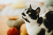 Cute cat sitting at pumpkin and fall leaves on table in sunny room. Portrait of green eyes cat on background of autumn harvest vegetables, leaves and nuts. Pet and holiday