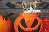 Happy Halloween! Jack o lantern candy bucket with cute kitten inside on background of pumpkin with bats. Kitten posing at holiday decorations, celebrating halloween at home