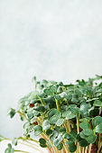Close-up of microgreen radish. Concept of home gardening and growing greenery indoors